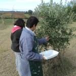 Fattoria didattica - Raccolta delle olive